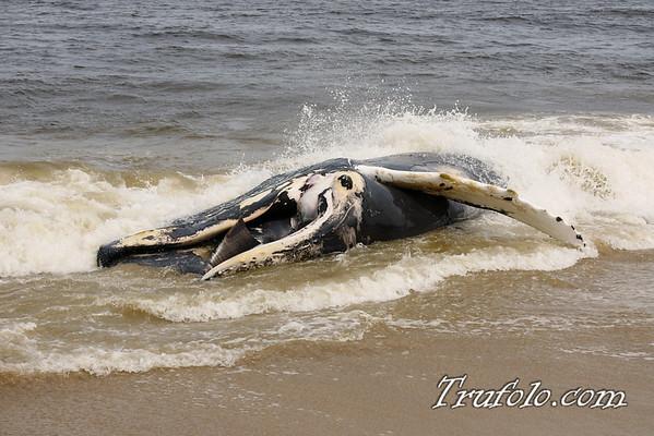 Dead Whale in Monmouth Beach 7-27-09