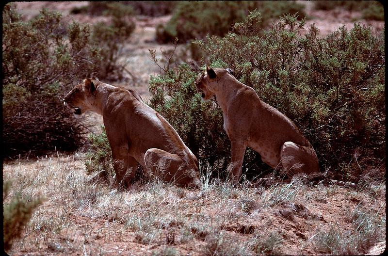 stalking lions
