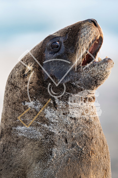 Portrait of female New Zealand Sea Lion at the sandy beach