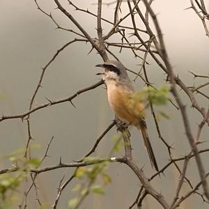 Longtailed Shrike