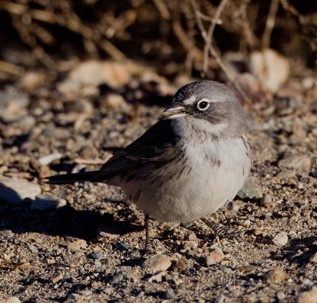 Sagebrush Sparrow  White Mountain Ranch 2014 01 16-3.CR2