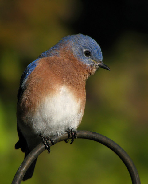 bluebird_4997.jpg