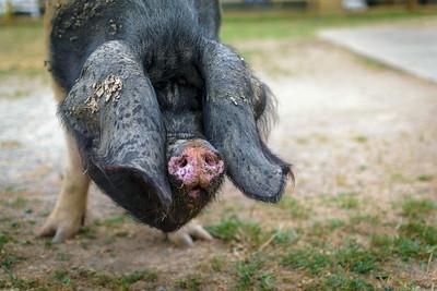 Groin groin : Refuge pour cochons