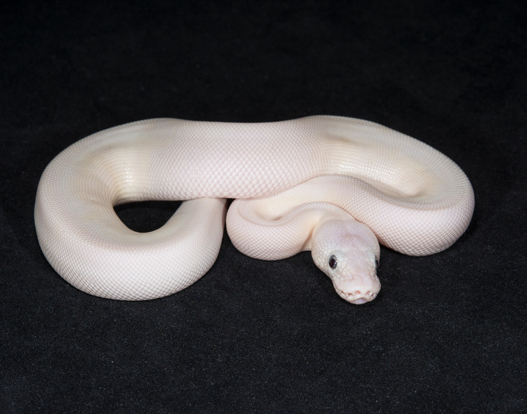 047MBEL, male Blue-eyed Leucistic, $300.  Sold Taisha B., awaiting shipping
