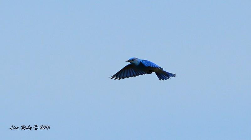 Male Mountain Bluebird, Hovering - 1/19/2015 - Rangeland Road, Ramona