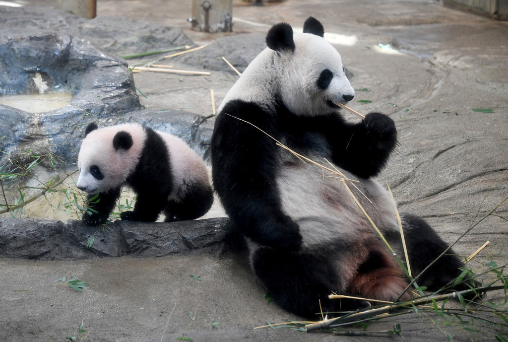 . Female giant panda cub Xiang Xiang, left, walks beside her mother Shin Shin at Ueno Zoo in Tokyo Tuesday, Dec. 19, 2017. Tokyo�s new idol, baby panda Xiang Xiang, formally debuted Tuesday, immediately melting the hearts of hundreds of fans decorating themselves with panda motifs who visited the zoo and the neighborhood filled with festivity. (Toru Yamanaka/Pool Photo via AP)