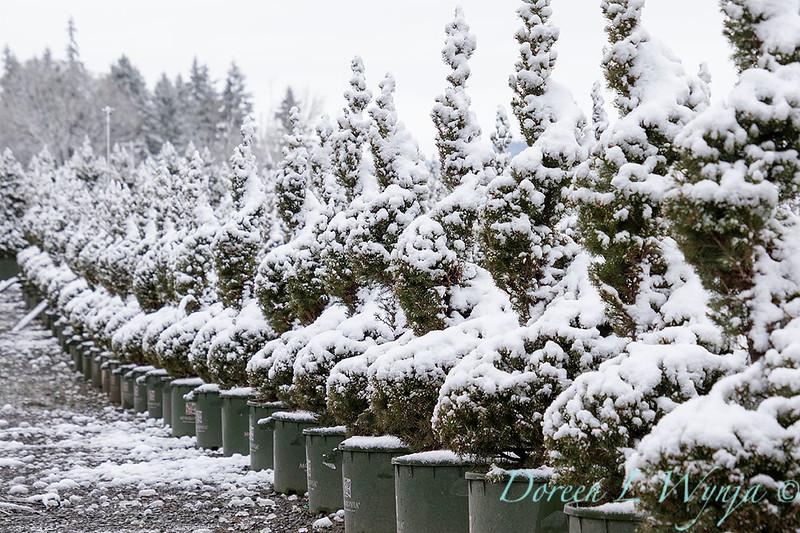 Picea glauca 'Conica' spirals - can yard in snow_4123.jpg