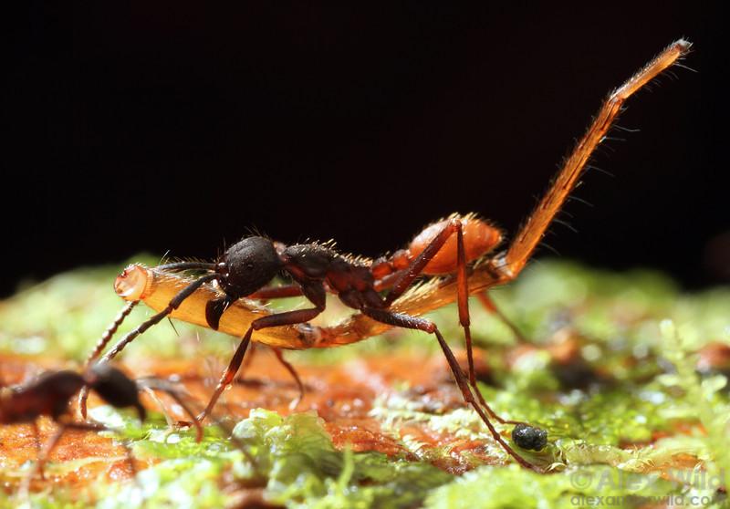 Eciton burchellii media worker carrying part of a dismembered spider.  Maquipucuna reserve, Pichincha, Ecuador