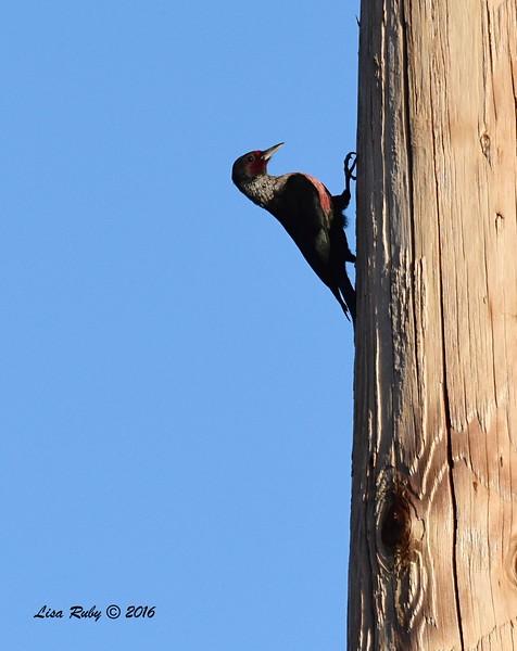 Lewis's Woodpecker - 2/19/2016 - Penasquitos Canyon