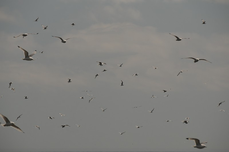 Then all of a sudden the birds take flight and are headed towards their feeding grounds--capelin on the shore.