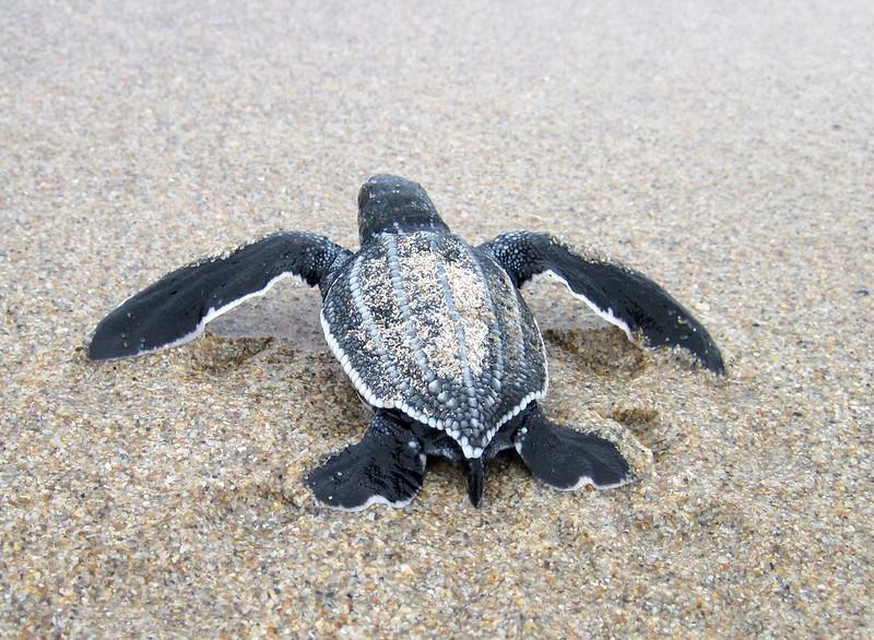 baby sea turtles-6.jpg