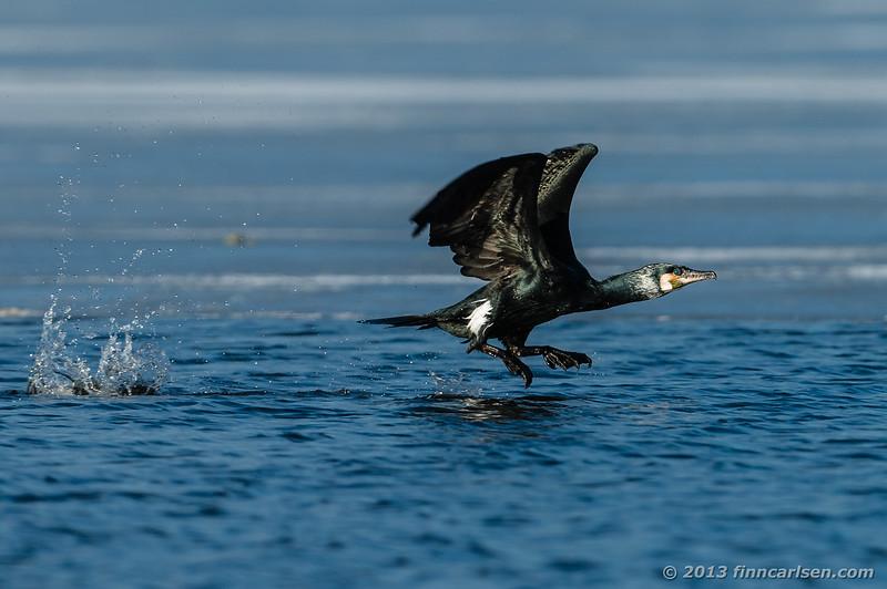 Skarv (Phalacrocorax carbo - Great Cormorant)