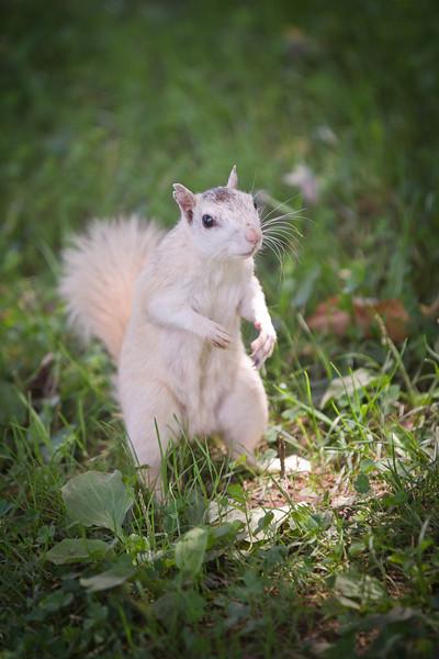 whitesquirrel-1.jpg