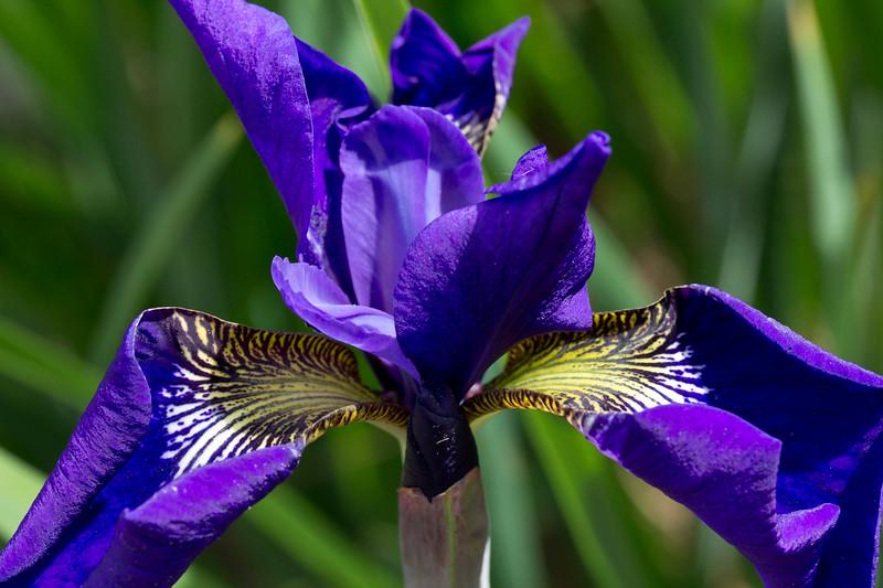 cemetery iris.jpg