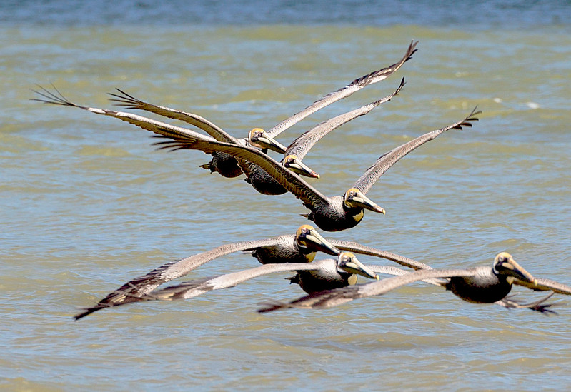 ... more  of the 6 Brown Pelicans.
