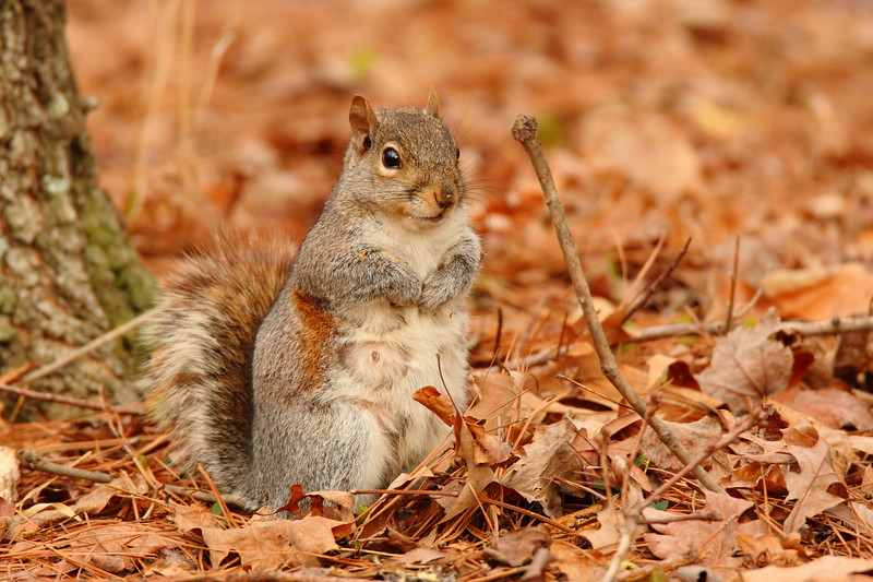 Eastern Gray Squirrel (Sciurus carolinensis) mother gathering food for her young in Spring. Newport News, VA. © 2007 Kenneth R. Sheide