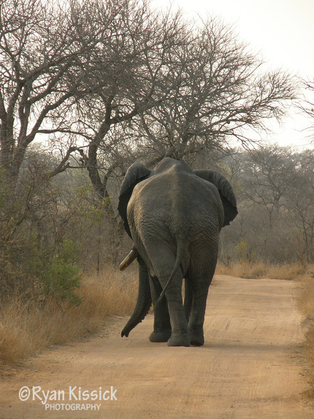African elephant blocking the road ahead