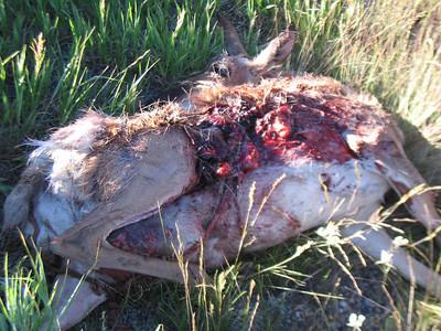 Doug hits antelope at 75 mph