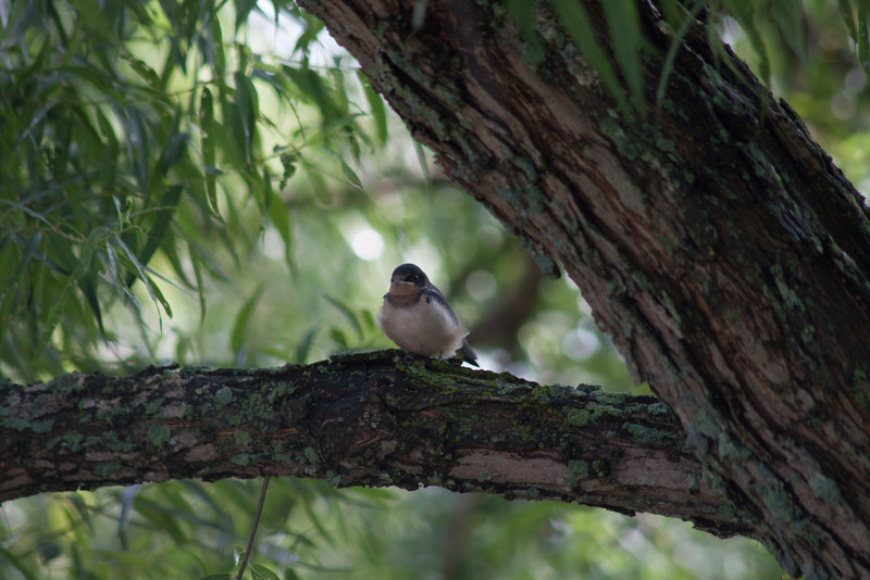 08/07.  The second batch of Barn Swallows has fledged.  This one is in the shade, taking a rest from flight training.