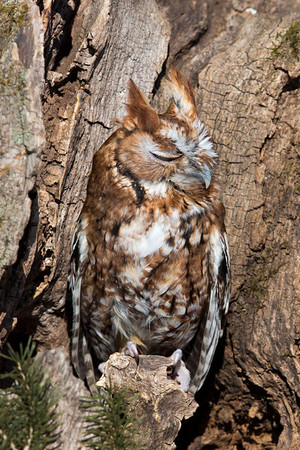 Owl, Eastern Screech [Red]