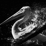 Bathing Pelican.jpg