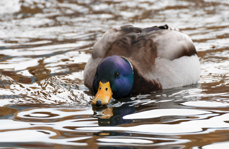 duck ch.jpg