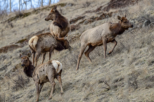 4-16-19 Elk - Yaha Junction
