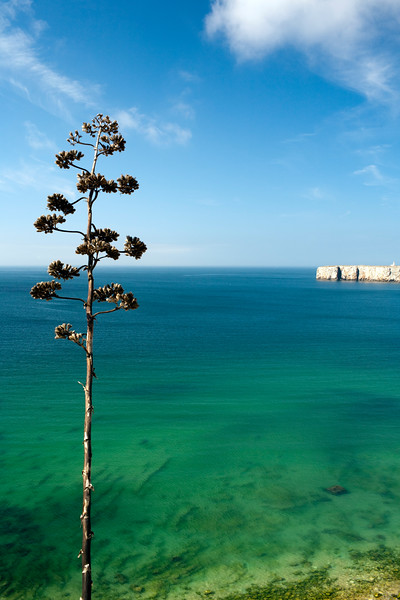 Flower spike of a pita or agave plant with the Atlantic Ocean on the background. Town of Sagres, municipality of Vila do Bispo, district of Faro, region of Algarve, southwestern Portugal
