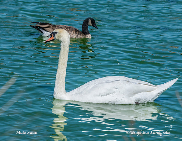 _DSC8249Mute Swan.jpg