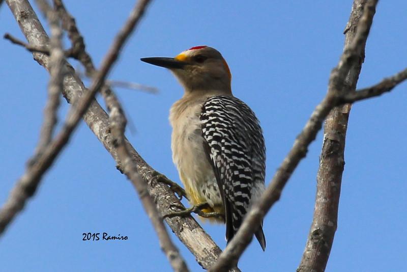 Woodpecker 3-9-15 026.jpg