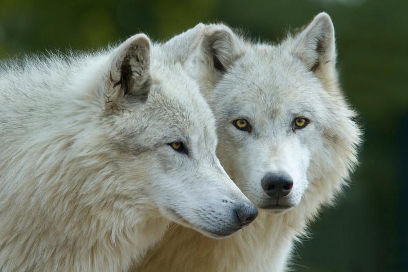 gray wolf003.jpg