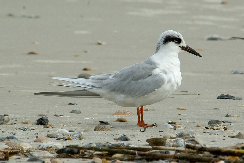 Tern - Forsters - Fort Clinch State Park - FL