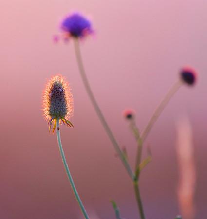 Desert des Agriates - herbes