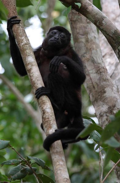 costa_rica_howler_monkey_9.JPG