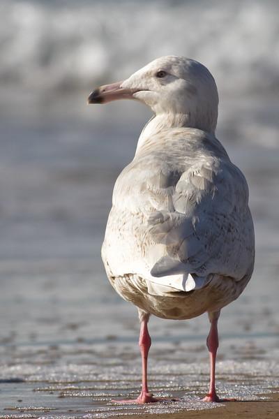 Glaucous-Gull-2011-01-2295.jpg