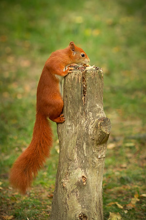 2020 - Red Squirrel 005