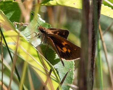 Butterflies, Skippers & Moths