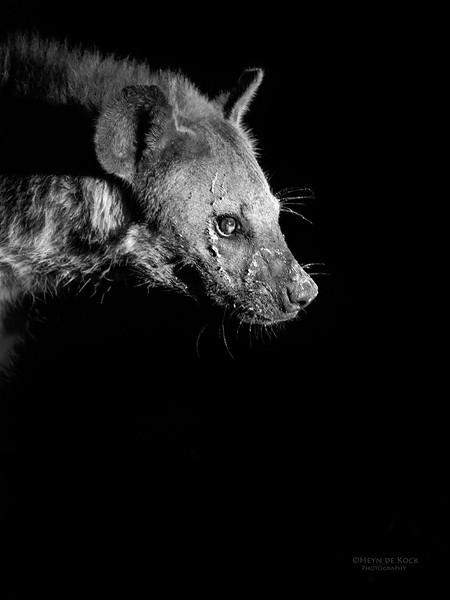 Spotted Hyena, Sabi Sands (EP), SA, Sept 2015 b&w.jpg