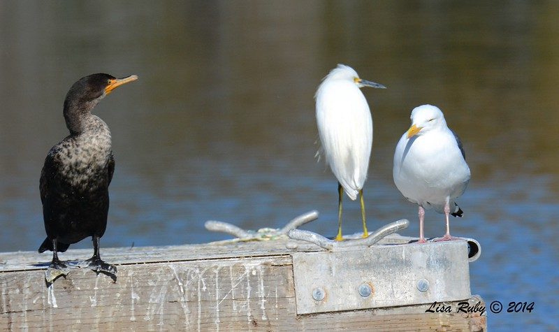 Double-crested Cormorant, Snowy Egret, Western Gull - 12/29/2014 - Santee Lakes