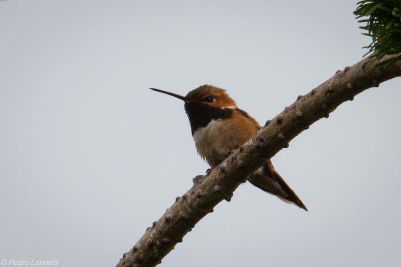 Rufous Hummingbird 01.jpg