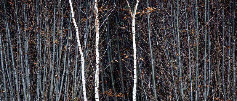 Three Birches.jpg