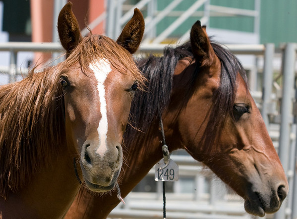 2008 Wild Horse and Burro Sale, Norco, CA