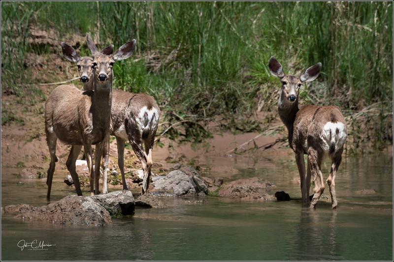 JZ6_1919 Deer LPNr1W.jpg