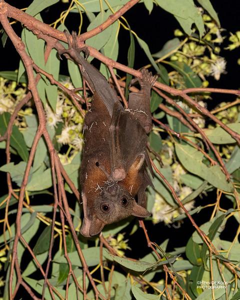 Little Red Flying-fox, Paluma, QLD, Jan 2020-1.jpg