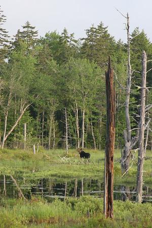 Bull Moose in Swamp, Maine<br /> ©Nature'sArt