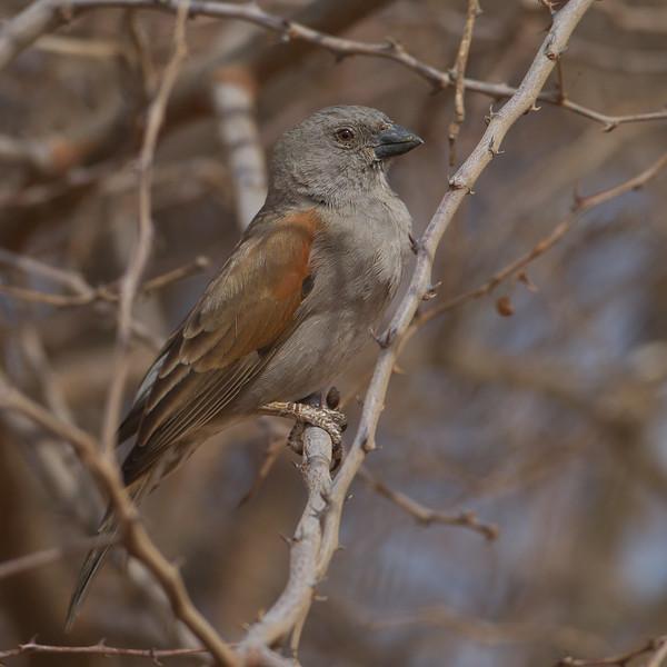 Northern Grey-headed Sparrow - Amboseli National Park, Kenya