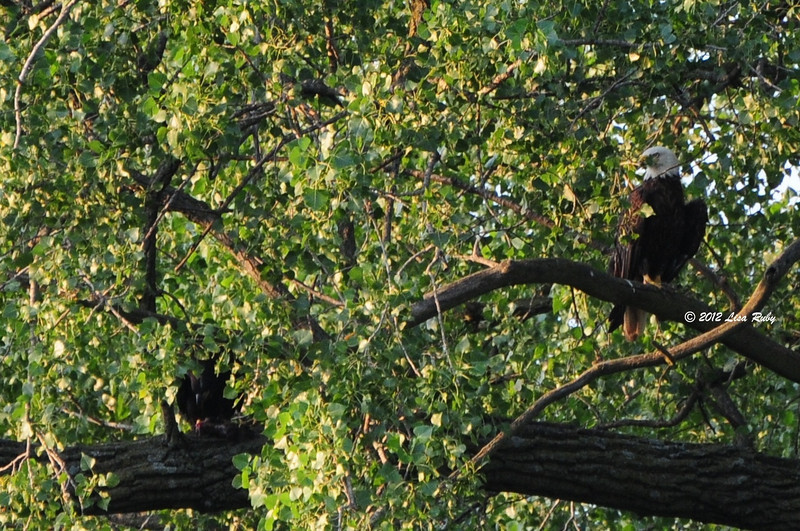 Fledging at lower left in the leaves working on dinner, while parent looks on from upper right.