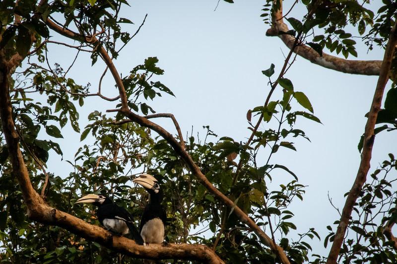 BIRD - pied hornbill pair 2-0639.jpg