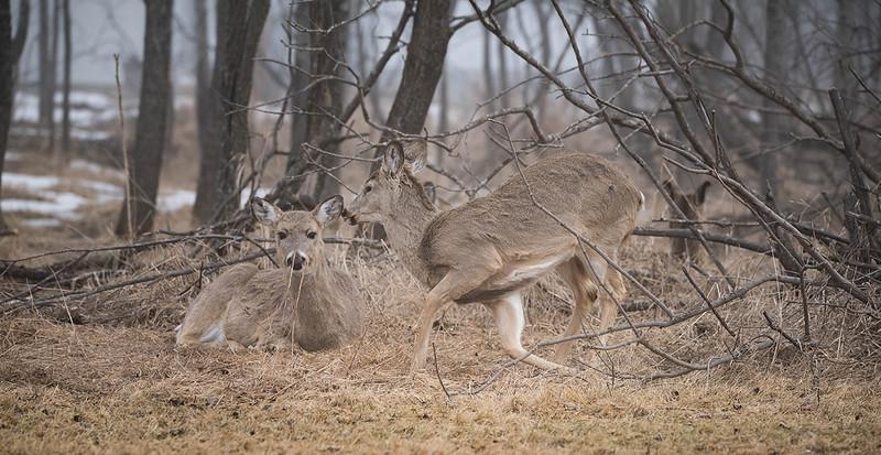 April 15 2016 deer 2.jpg