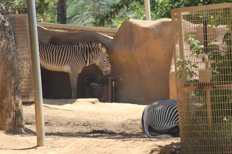 20170807-119 - San Diego Zoo - Zebra.JPG